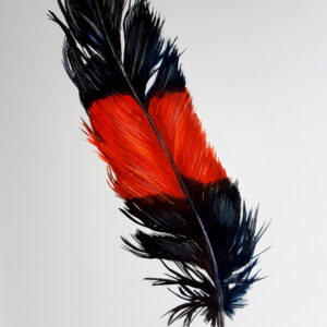 15. Red Tailed Black Cockatoo Feather – Artist Paul Margocsy – Framed on Board